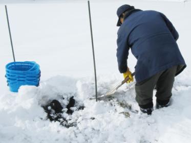 一面真っ白な畑の中をポールを目印に、厚い雪の層を掘り進めます