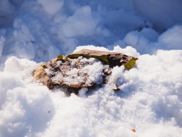 瑞々しく柔らかな雪中キャベツ