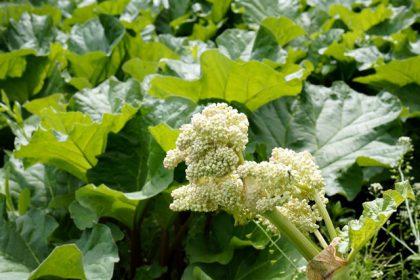 ルバーブの花です!たしかにちょっとヘンテコですね。