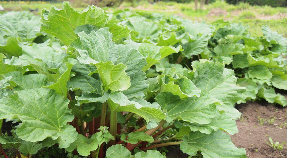 rhubarb_field